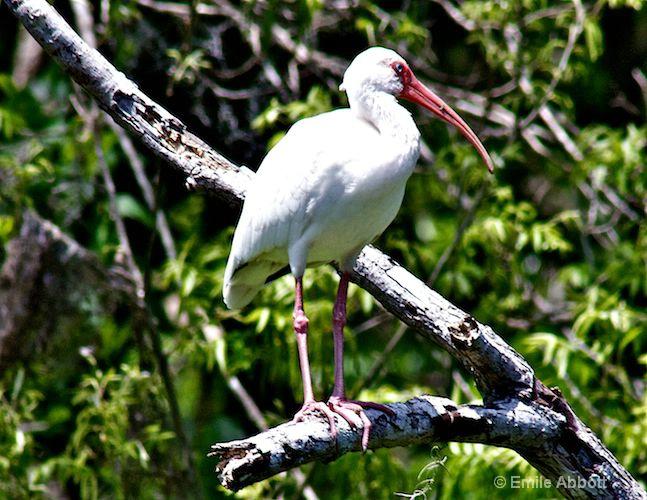 Mature White Ibis
