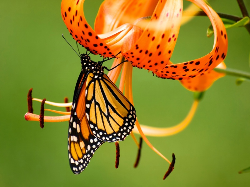 Monarch On Tiger Lily