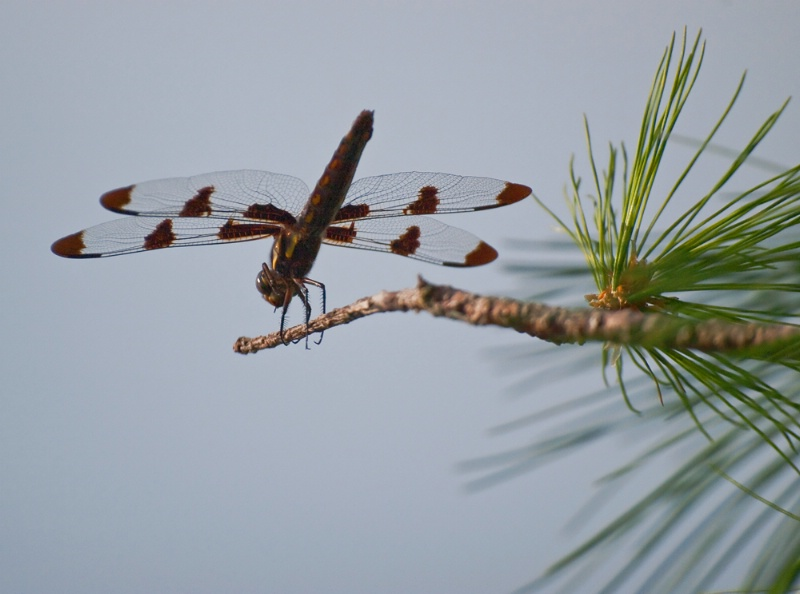 Dragonfly On Pine