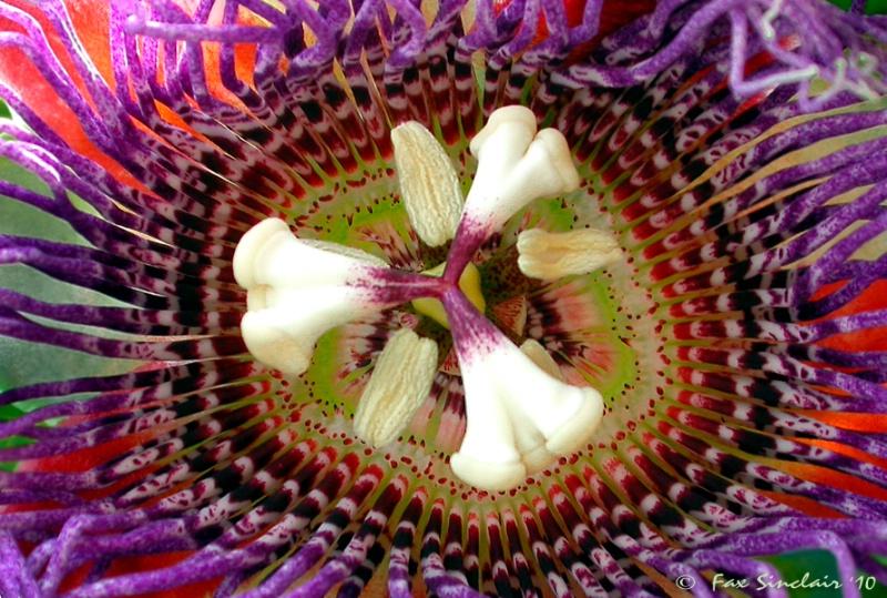 Giant Passion Fruit Flower
