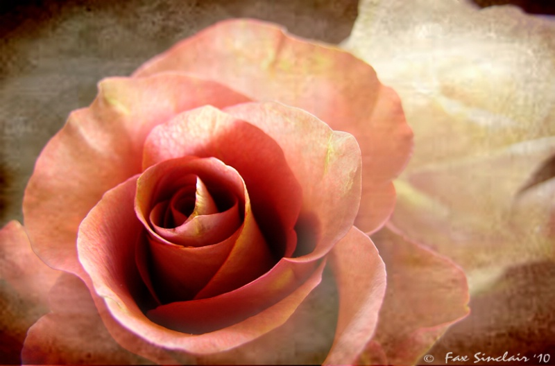 Antique Roses 2010