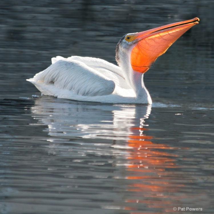 White Pelican Feeding