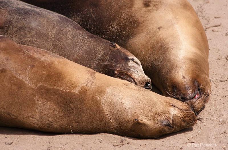 Harbor Seals Snuggling