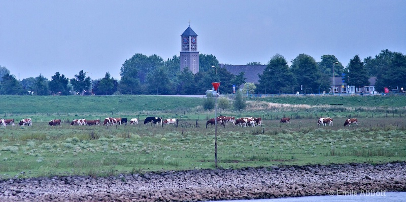 Cattle along the Canal