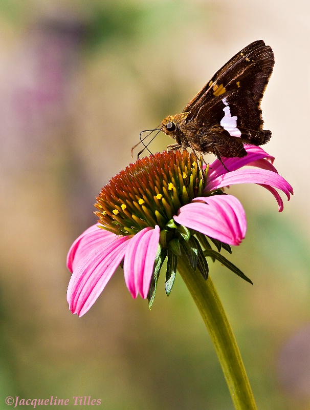 Silver Spotted Skipper on Coneflower