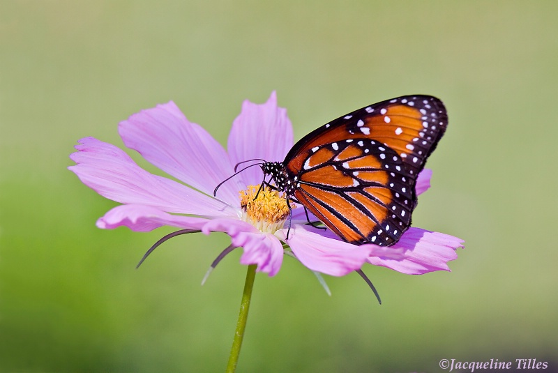 Queen Butterfly on Pink Cosmos