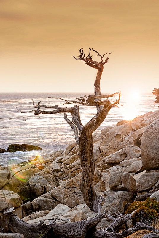 "One of the ""Ghost Trees"" at 17 Mile Drive"