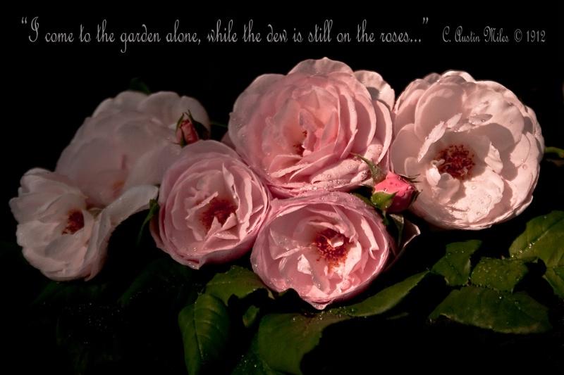 Roses At Dawn 1