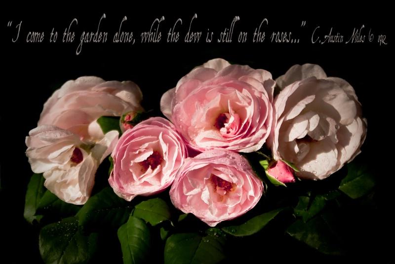 Roses At Dawn