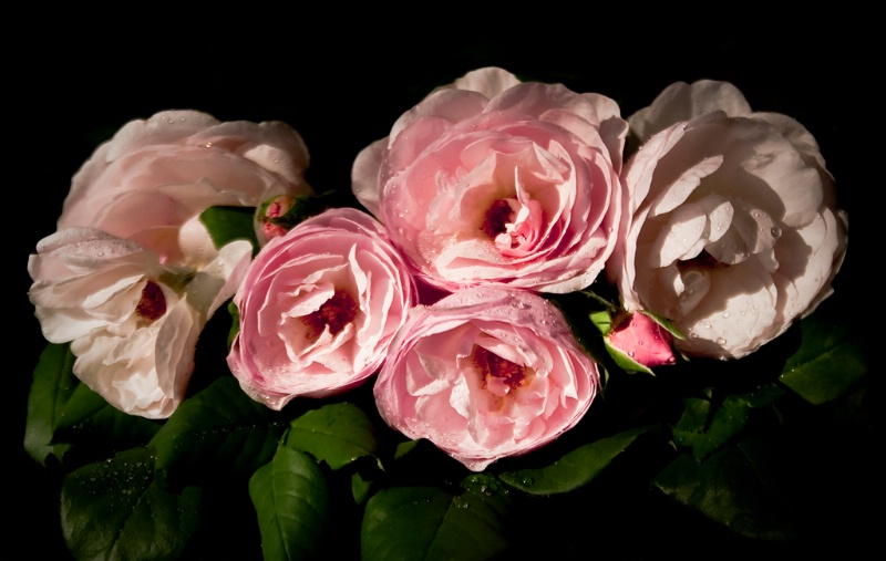 Roses At Dawn, Revisited
