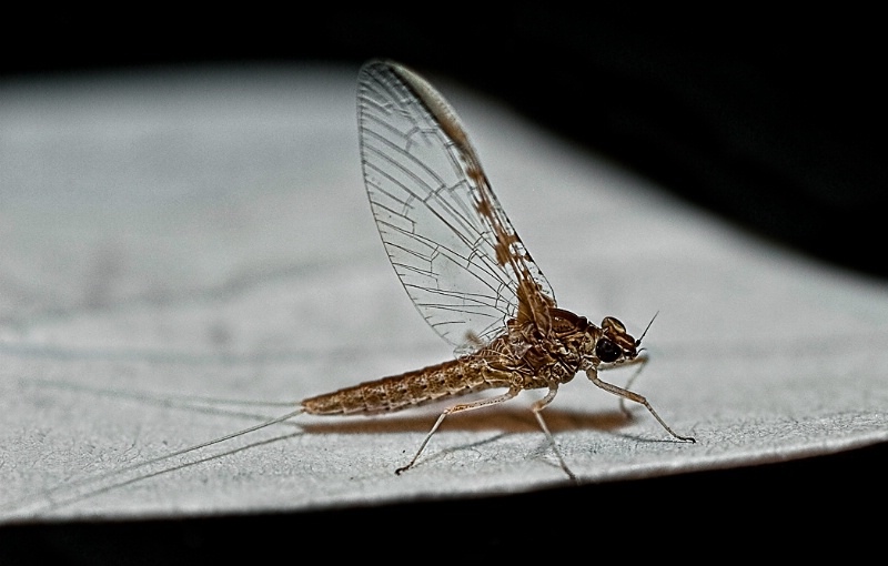 Last Journey of a Mayfly