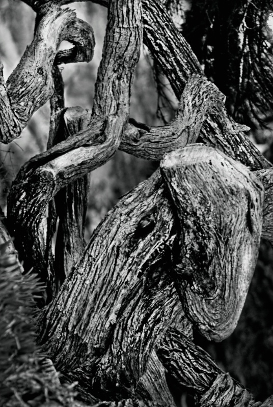 Twisted Sisters at Ghost Tree Beach