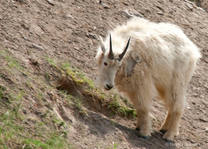 Canadian Rockies Mt. Goat