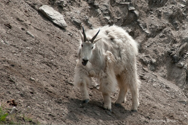 Mt. Goat Shedding Winter Coat