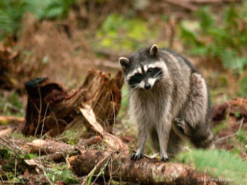 Raccoon Scratching