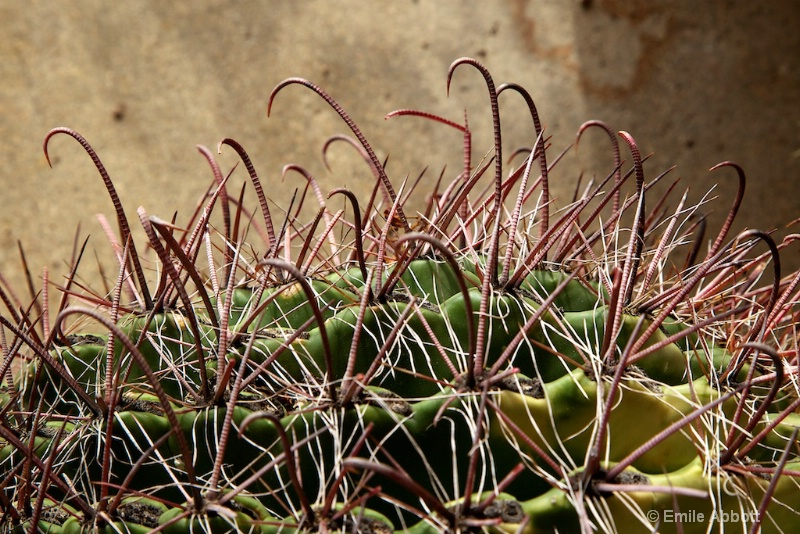 Macro Wright Fishhook cactus