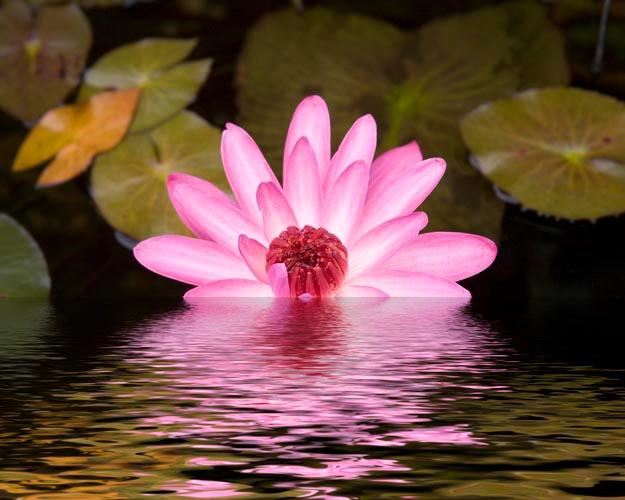 waterlillie 7