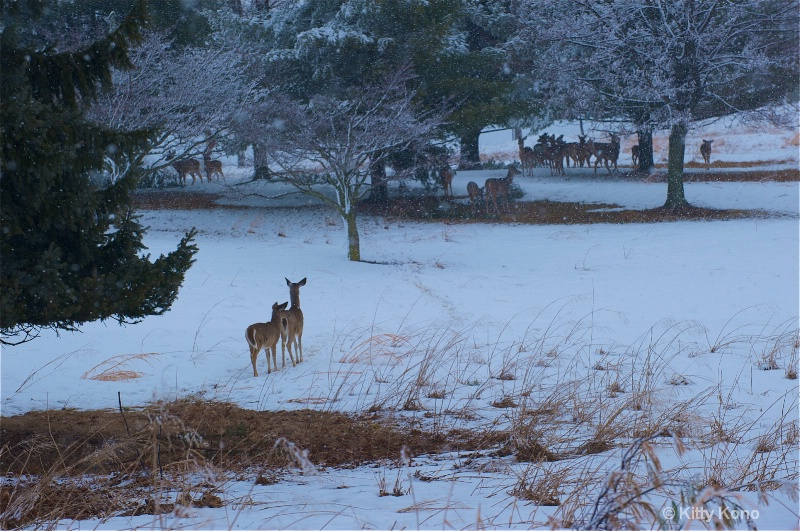 Deer in the Snow at Valley Forge 2010
