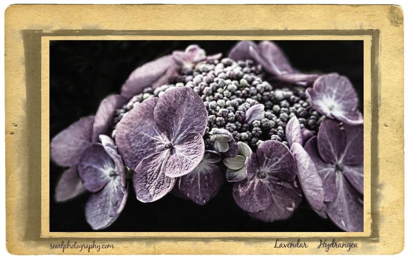 Postcard@@Lavendar Hydrangea