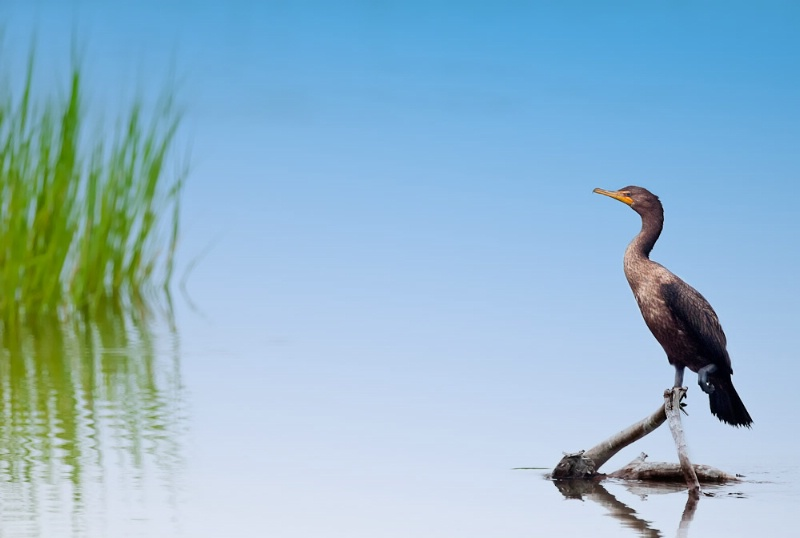 Cormorant in The Marsh