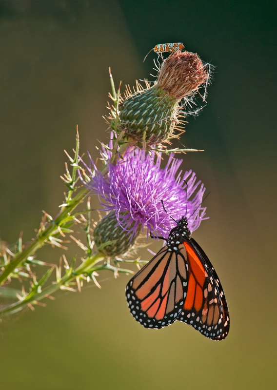Monarch with Thistle