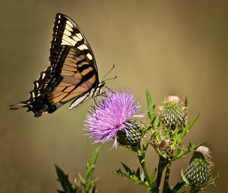 Swallotail and Thistle