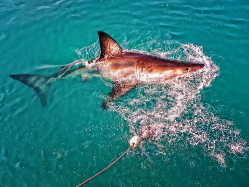 Great White Shark From The Deck