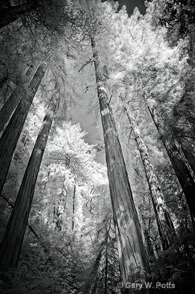 Muir Woods Monochrome