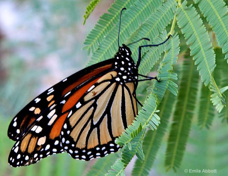 Monarch Migration to Mexico