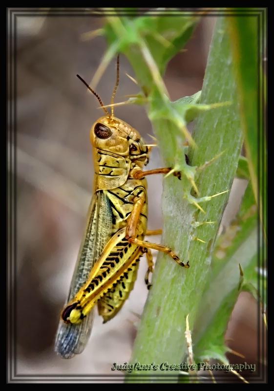Grand Grasshopper