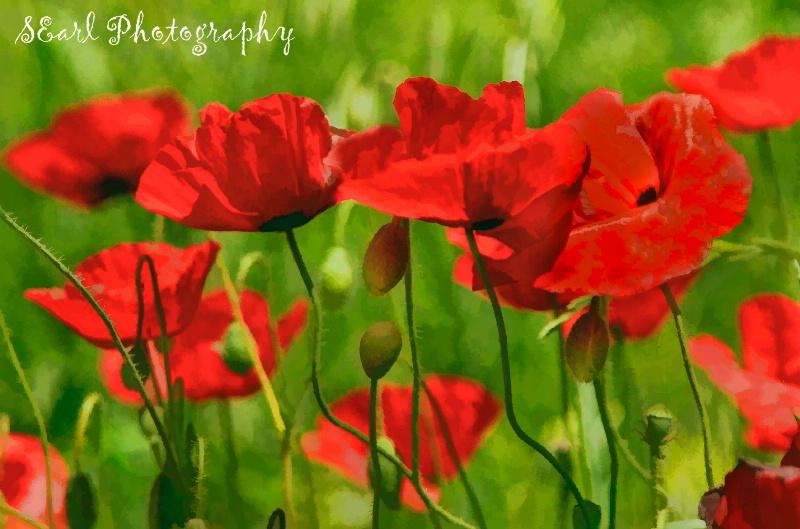 Poppies #6