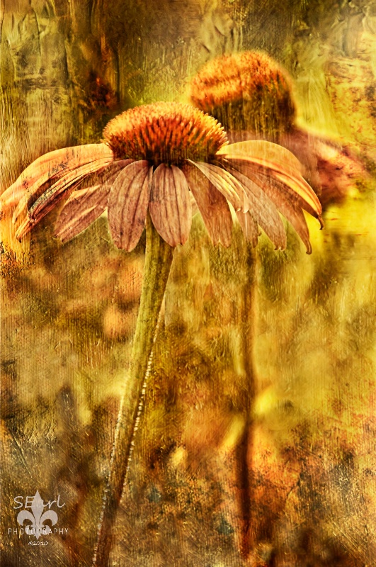 Coneflower with Texture