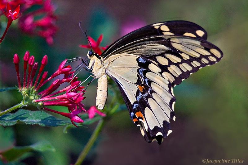 Giant Swallowtail on Honeysuckle