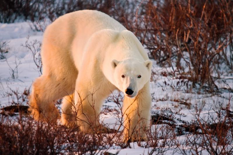 Sunlit Polar Bear