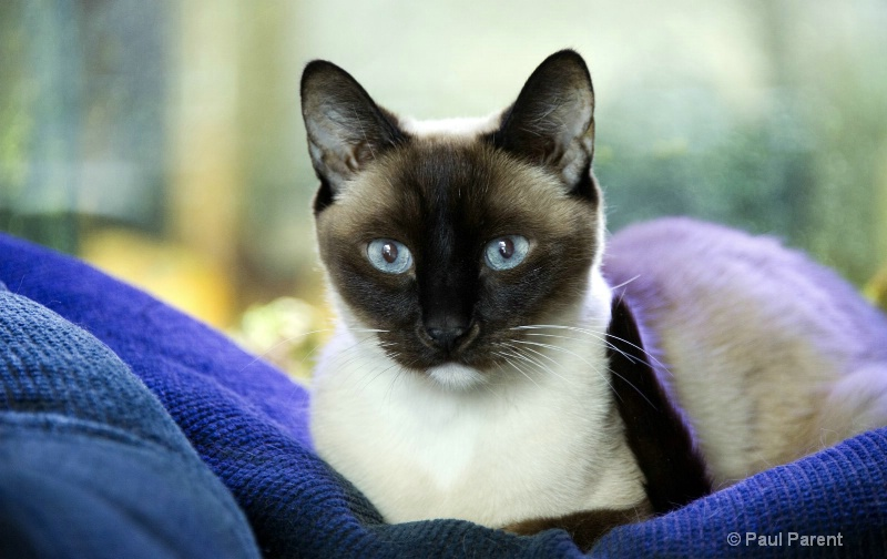 Miko, The Siamese Cat