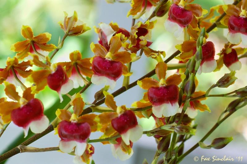 Orchid s Flow 2