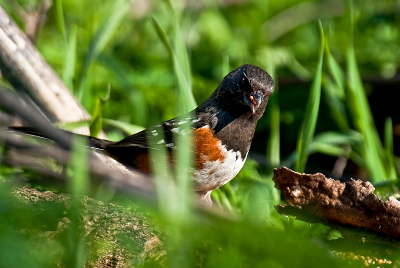 Male Spotted Towhee