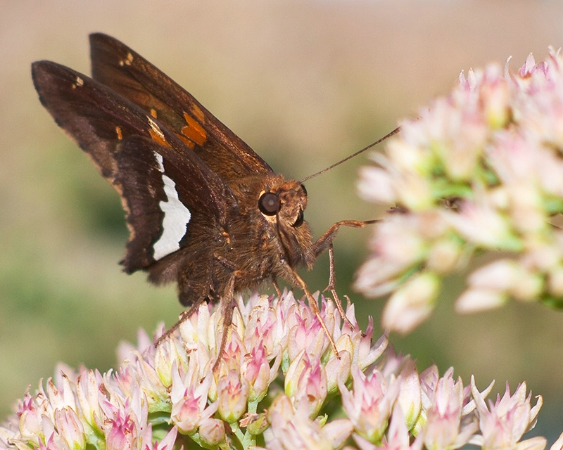 Butterfly on Sedum Blooms
