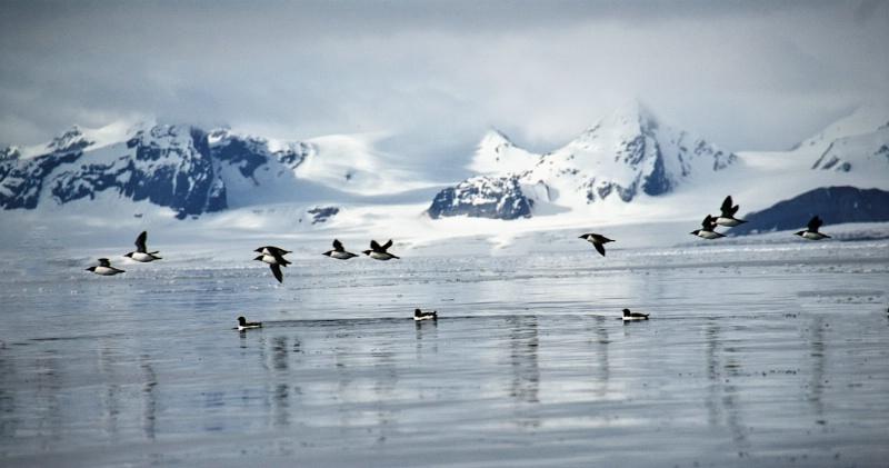 Arctic Murres