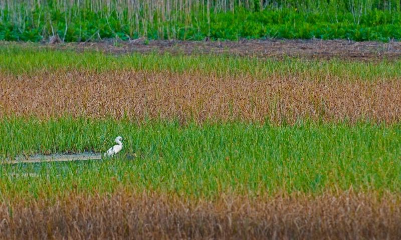 Egret in Marsh
