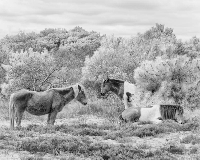 Assateague Ponies