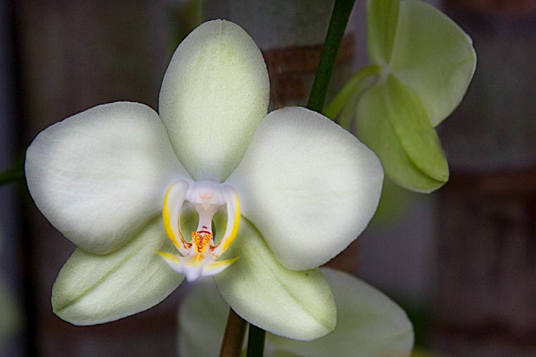orchid aglow