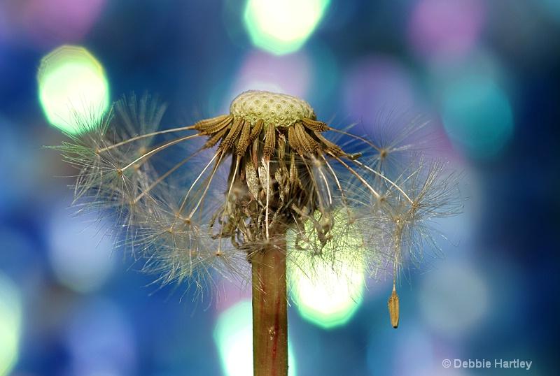 dandelion bokeh