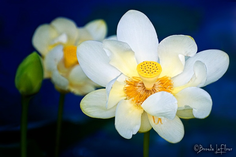Wild Water Lily