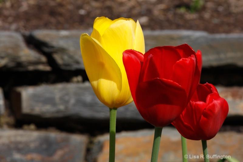 Three Tulips