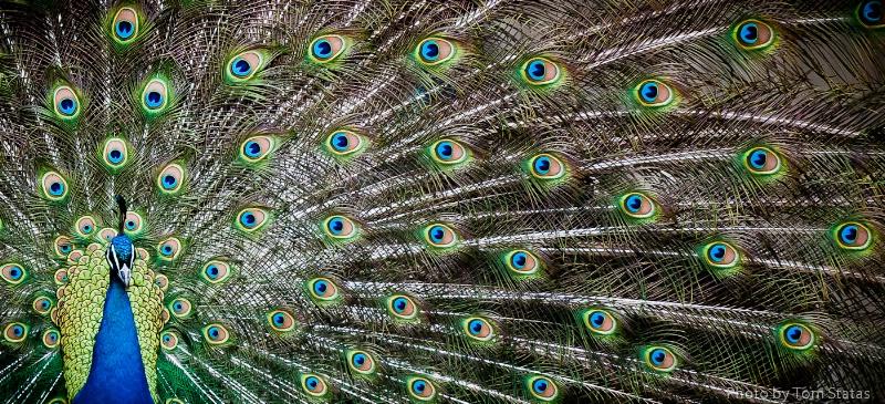 Peacock in Bloom