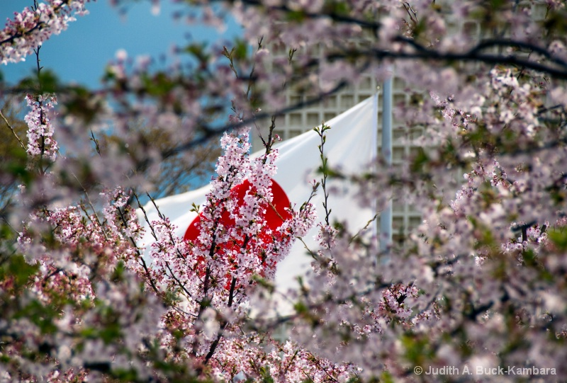 sun and sakura
