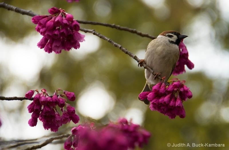 sparrow on sakura branch