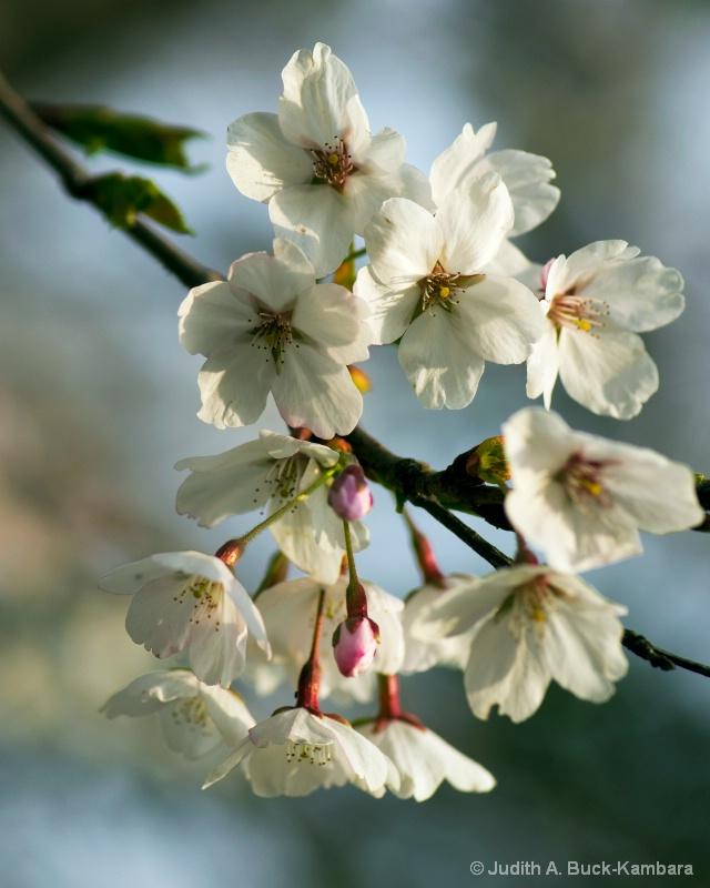sakura cluster