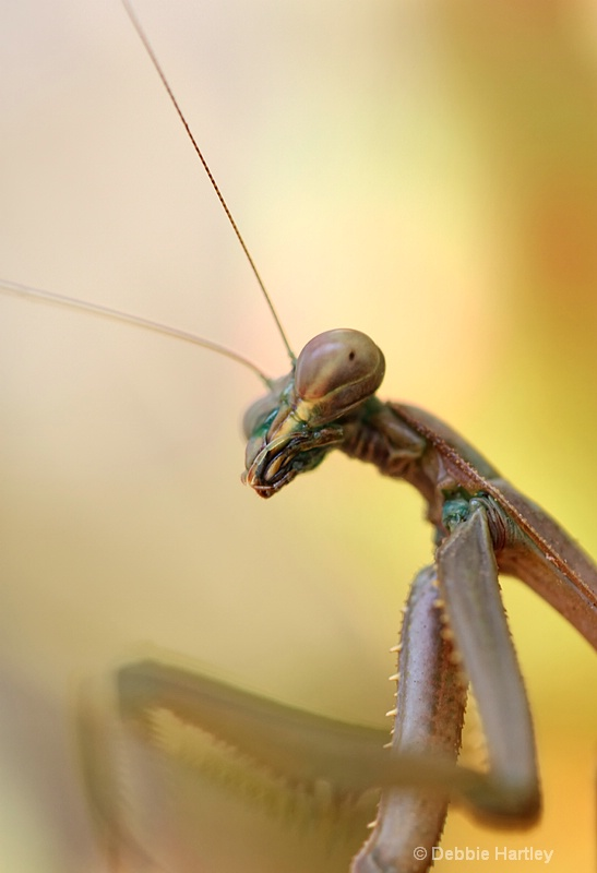 Mr Praying Mantis